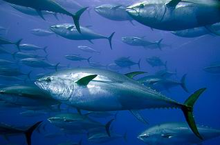 Ikan Tuna Mahal